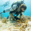 Combined efforts from Mote, Combat Wounded Veteran Challenge, and the SCUBAnauts, planted 500 Stagorn Coral on Hope Reef on Tuesday, June 27th, 2017.